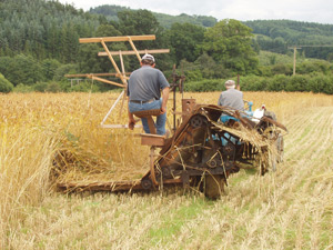 Harvesting the Wheat Reed